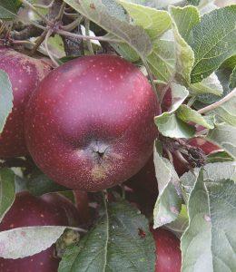 æblets dag