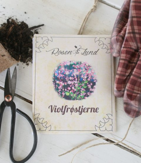 Blomsterfrø - Violfrøstjerne