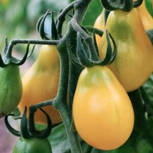 Gul cherry tomater - Yellow Submarine
