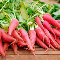 Lyserøde radiser - Oriental Rosa - Pink orientalsk radise