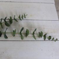 Eucalyptus Gren